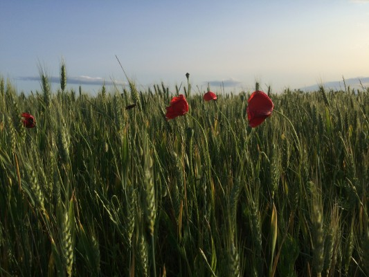 Poppies blowing in the wheat on the drive across Spain